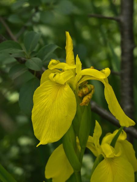 D156-2011 Yellow Iris 01<br /> <br /> Nichols Arboretum,<br /> Ann Arbor, Michigan (June 5, 2011)