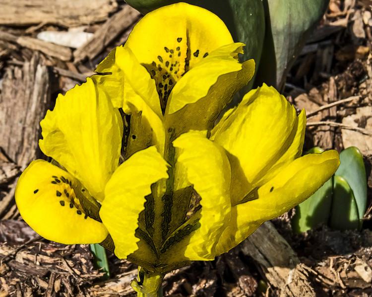 Dwarf yellow iris, filtered version