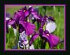 D154-2012 Iris (05 framed)<br /> <br /> Toledo Botanical Garden, Ohio<br /> June 3, 2012<br /> (nex5n)