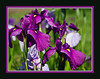 D154-2012 Iris (05 framed)<br /> <br /> Toledo Botanical Garden, Ohio<br /> June 3, 2012<br /> (nex5n)