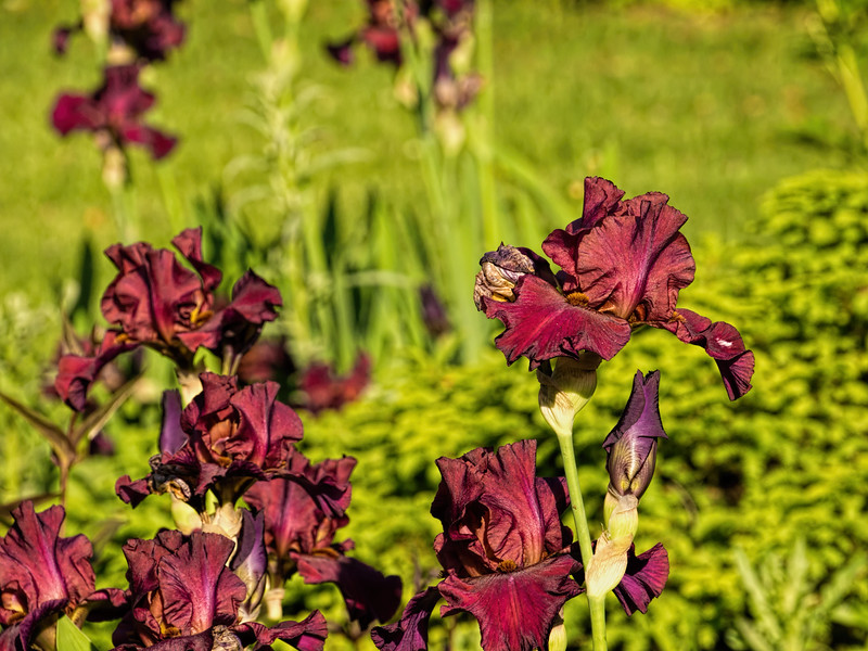 Mahogany red bearded iris