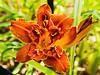 D189-2012 Daylilies.  Hemerocallis 'Double Razzle Dazzle', 1980, B. Brown.<br /> .<br /> Toledo Botanical Garden, Ohio<br /> July 8, 2012<br /> (nex5n)
