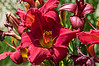D205-2013  Day Lily 'Her Best Bloomers', 2007 by D. Herr<br /> <br /> Toledo Botanical Garden, Ohio<br /> July 24, 2013