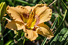 D205-2013  Day lily 'Web of Ingrigue', 2007 by Stamile.<br /> <br /> Toledo Botanical Garden, Ohio<br /> July 24, 2013