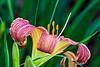 D183-2013 Day-lily (Genus Hemorocallis, species unknown)<br /> .<br /> Kensington Metropark, Michigan<br /> July 2, 2013
