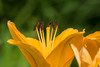 Day lily in profile