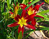 D189-2012 Daylilies.  Hemerocallis 'Purple Waters', Russell 1942.<br /> .<br /> Toledo Botanical Garden, Ohio<br /> July 8, 2012<br /> (nex5n)