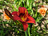 D206-2013  Day lily 'Mister Lucky', 2006 by Sellers.<br /> <br /> Toledo Botanical Garden, Ohio<br /> July 25, 2013