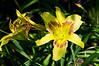 D189-2012 Daylilies.  Hemerocallis 'Magic Dawn', Hall 1956.<br /> .<br /> Toledo Botanical Garden, Ohio<br /> July 8, 2012<br /> (nex5n)