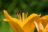 D183-2014 Daylily<br /> <br /> Toledo Botanical Garden, Ohio<br /> July 2, 2014