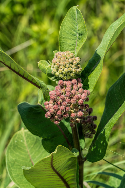 D178-2017<br /> > Common milkweed, Asclepias syriaca<br /> <br /> <br /> Willow Pond area, Matthaei Botanical Gardens, Ann Arbor<br /> Taken June 27, 2017