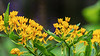 Yellow butterfly weed