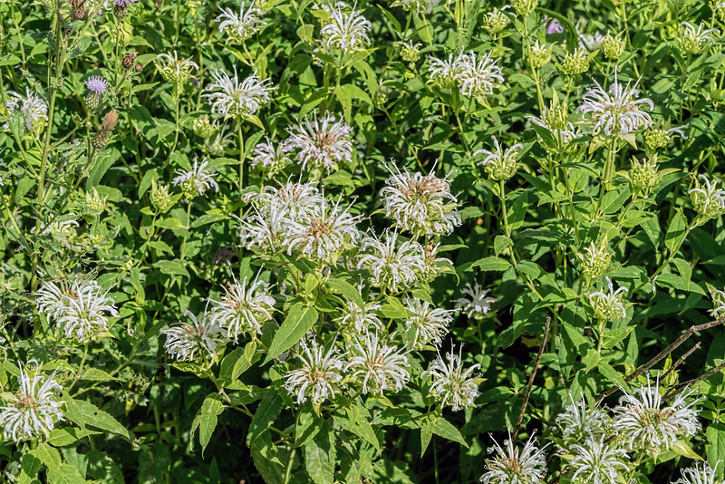 White monarda growing wild