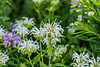 For 2017-08-05:  Wild white bergamot or monarda