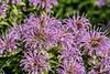 Wild bergamot - pale purple monarda