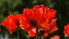Oriental poppy, Papaver orientale