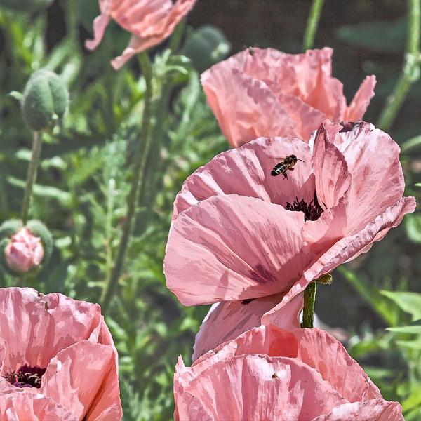 """D157-2013  Bee and poppy.  An unframed, filtered version of my DailyPhotos post DP162-2013  <a href=""""http://smu.gs/13UQyhC"""">http://smu.gs/13UQyhC</a>)<br /> <br /> Poppy, Papaver orientale 'Cedar Hill'<br /> .<br /> Perennial Garden at the Matthaei Botanical Gardens,<br /> Ann Arbor, Michigan<br /> June 6, 2013"""