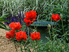 D159-2013  Poppies<br /> <br /> Rudolf Steiner House, 1923 Geddes Avenue<br /> Ann Arbor, Michigan<br /> June 8, 2013