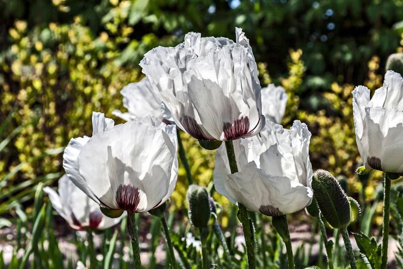 Oriental poppy 'Royal Wedding'
