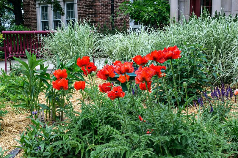 "D159-2013  Poppies in the flower garden in front of the Rudolf Steiner House.<br /> See filtered versions here <a href=""http://smu.gs/ZEyn04"">http://smu.gs/ZEyn04</a> and here <a href=""http://smu.gs/ZEypFr"">http://smu.gs/ZEypFr</a><br /> <br /> Genus Papaver; species and hybrid/cultivar unknown<br /> <br /> Geddes Avenue, Ann Arbor, Michigan<br /> June 8, 2013"