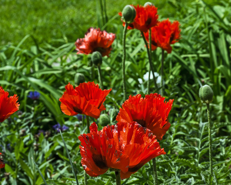 D157-2014  Oriental Poppies, deep orange<br /> <br /> Steiner House, Geddes Avenue<br /> June 6, 2014
