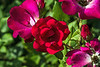 Roses:  red fades to old rose or deep pink