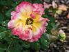 D170-2014  Floribunda Rosa 'Easy Does It'<br /> <br /> Rose Garden, Toledo Botanical Gardens, Ohio<br /> June 19, 2014