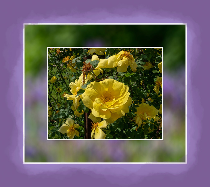 Yellow climbing rose with background of flag iris, blurred