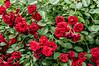 D186-2013  Dooryard roses.<br /> .<br /> Onondaga Street and Geddes Avenue, Ann Arbor<br /> July 5, 2013