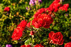 Dew-spangled red roses