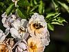 Bee on heirloom rose