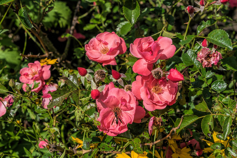D178-2017<br /> Roses with weird wasp.<br /> <br /> Perennial Garden, Matthaei Botanical Gardens, Ann Arbor<br /> Taken June 27, 2017