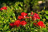 D247-2016 Red roses in dew<br /> <br /> County Farm Park, Washtenaw County, Ann Arbor<br /> Taken September 4, 2016