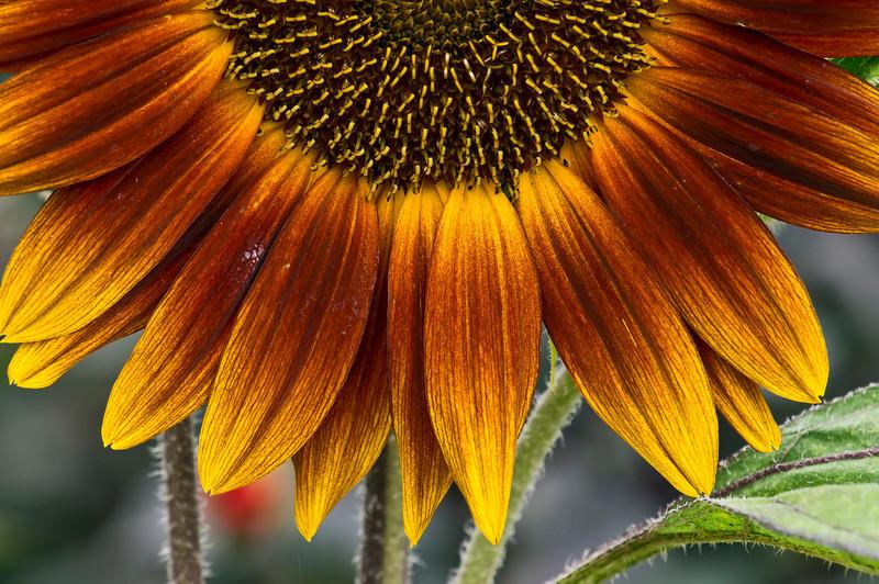 "D207-2012 Sunflowers - ""Setting Sun""<br /> .<br /> Matthaei Botanical Gardens, Ann Arbor, Michigan<br /> July 26, 2012<br /> (nex5n)"