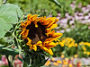 D196-2013  Opening for business<br /> The first garden sunflower of the season.  Whoo-hoo!<br /> .<br /> Gateway Garden, Matthaei Botanical Gardens, Ann Arbor<br /> July 15, 2013