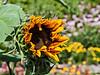 D196-2013  Opening for business<br /> The first garden sunflower of the season.  Whoo-hoo!<br /> .<br /> Gateway Garden, Matthaei Botanical Gardens, Ann Arbor<br /> July 15, 2013