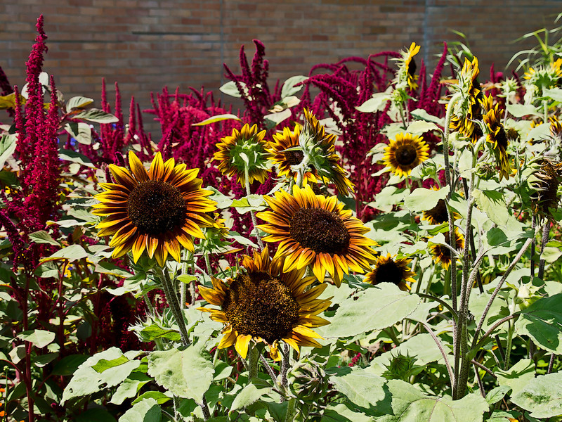 D201-2012 Sunflower cultivar.<br /> .<br /> Matthaei Botanical Gardens, Ann Arbor, Michigan.<br /> July 20, 2012.<br /> (nex5n)