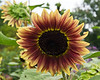 D207-2012 Sunflowers<br /> .<br /> Matthaei Botanical Gardens, Ann Arbor, Michigan<br /> July 26, 2012<br /> (nex5n)