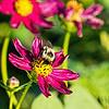 Bumblebee on cosmos (?)