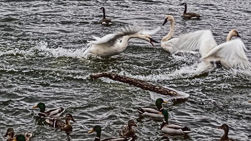 Unfiltered version:  Swan kerfuffle
