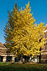 Glorious ginkgo tree