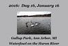 Photo set for January 16, 2016:  Waterfowl feeding on shelled corn