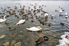 Filtered version:  Swans, geese, mallards feeding in the shallows