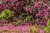 'Olga Mezitt' rhododendrons