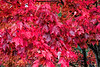 Wet and wonderful - foliage of the red maple tree - strawberry red