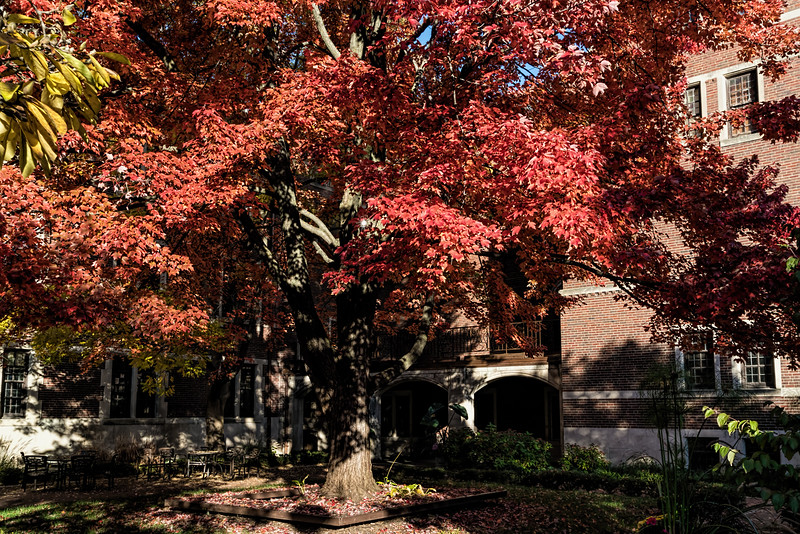 Courtyard, Michigan League, dominated by red maple tree
