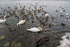 Unfiltered version:  Swans, geese, mallards feeding in the shallows