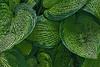 Hosta leaf grouping - filtered