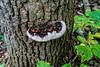 Bracket fungus on dead oak