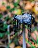 An unsightly end for a Shaggy Mane mushroom
